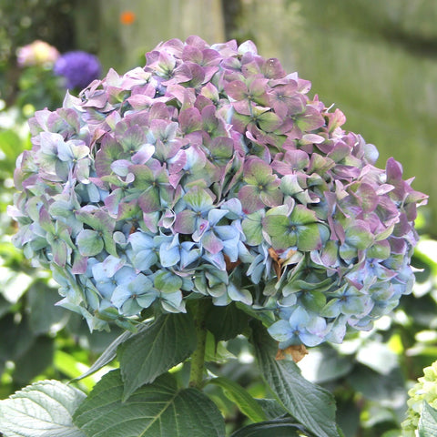 Wholesale Antique Blue Bulk Hydrangeas