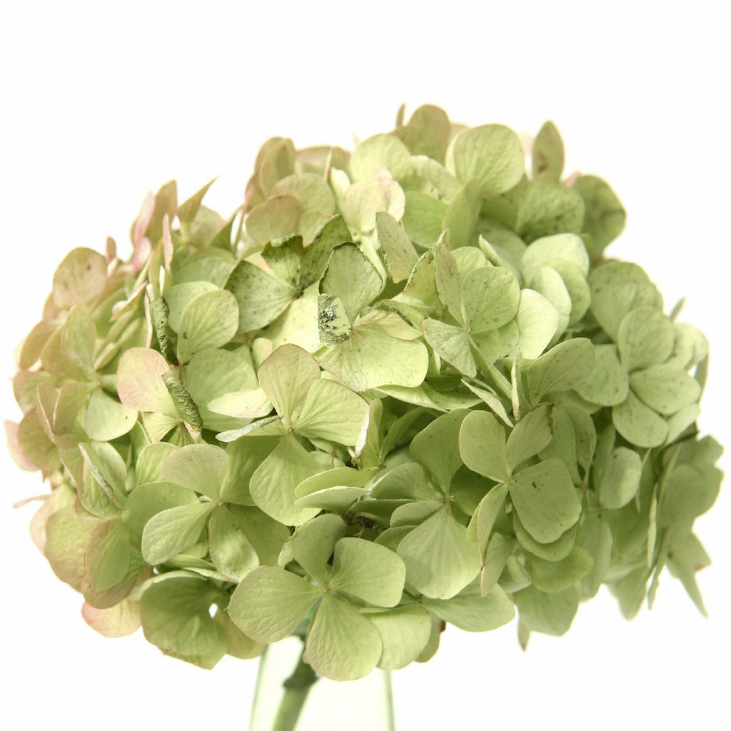 Wholesale Fresh Antique Green Bulk Hydrangea