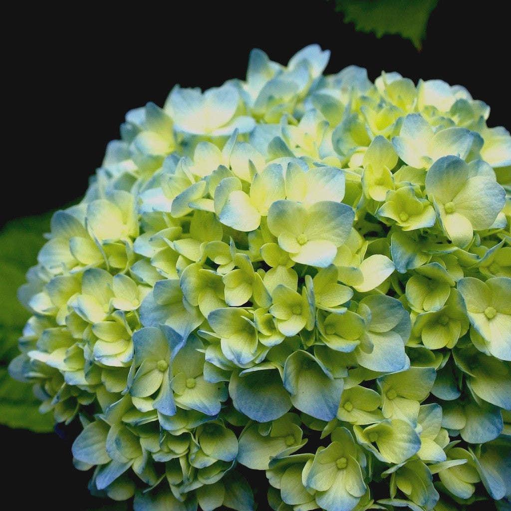Wholesale Fresh Blue Bulk Hydrangeas