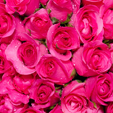 Wholesale Fresh Attache Hot Pink Bulk Roses