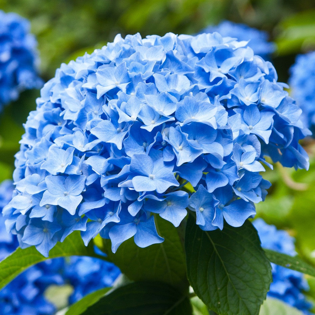 Wholesale Shocking Blue Bulk Hydrangeas