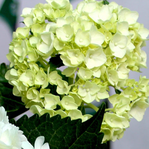 Wholesale Fresh Green Bulk Hydrangeas