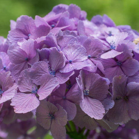 Wholesale Fresh Lavender Bulk Hydrangeas