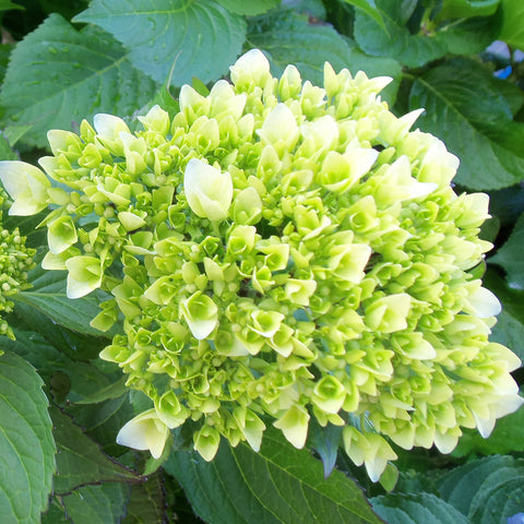 Wholesale Fresh Mini Green Bulk Hydrangeas