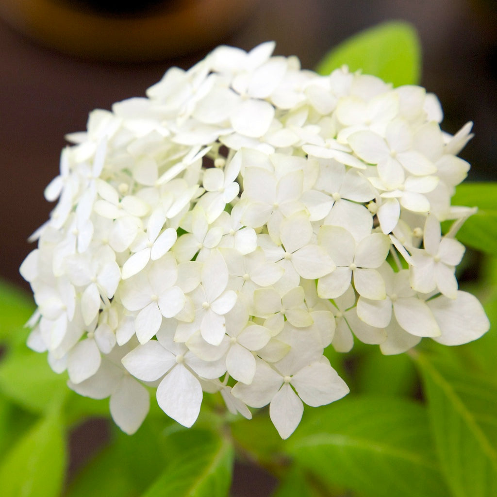 Wholesale Fresh White Bulk Hydrangeas
