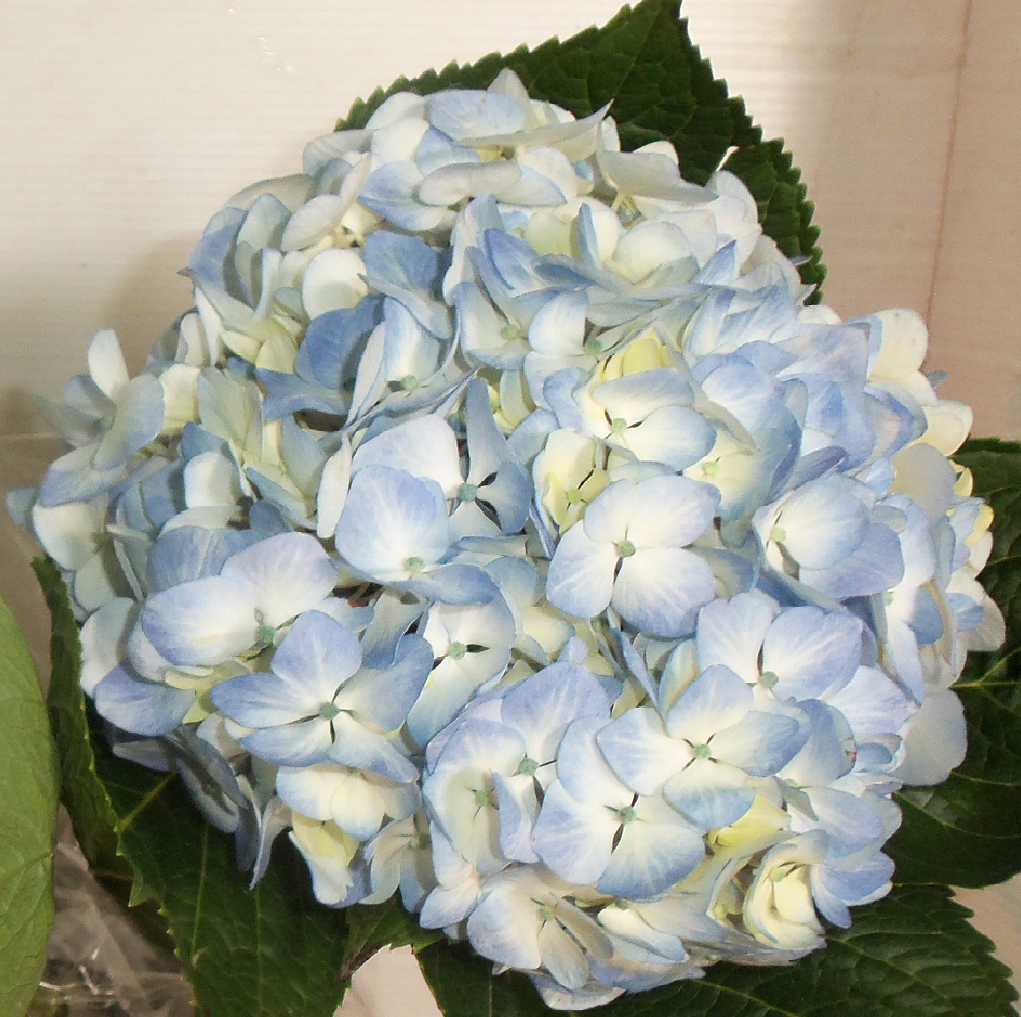 Wholesale Fresh Premium Blue Bulk Hydrangea