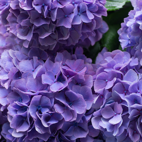 Wholesale Fresh Purple Bulk Hydrangeas