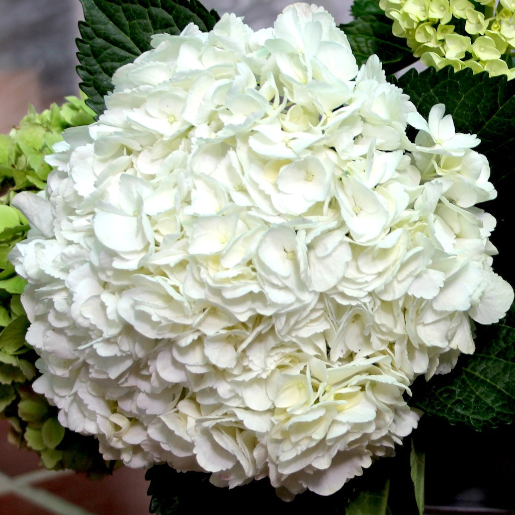 Fresh Jumbo White Bulk Hydrangea 263 To 288 Per Stem Flowers