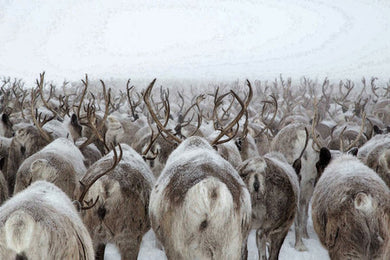 Poly Canvas Print - XXL - Migrating Herd of Caribou in the Arctic.