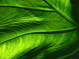 Poly Canvas Print - Abstract - Macro Image of Green Leaf