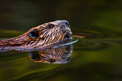 Poly Canvas Print - Photography - North American Beaver on the Water