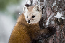 Load image into Gallery viewer, Poly Canvas Print - XXL - Photography - Pine Marten of America