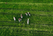 Load image into Gallery viewer, Poly Canvas Print - Photography - Drone Photo of Reindeer Grazing a Green Pasture