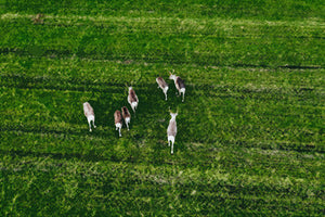Poly Canvas Print - Photography - Drone Photo of Reindeer Grazing a Green Pasture