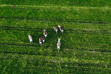 Poly Canvas Print - XXL - Photography - Drone Photo of Reindeer Grazing a Green Pasture