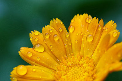 Poly Canvas Print - XXL - Photography - Floral Still Life Photo of a Yellow Daisy Wet with Morning Dew