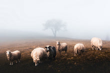 Load image into Gallery viewer, Poly Canvas Print - Float Frame - Photography - Wildlife Landscape with a Herd of Sheep in Autumn