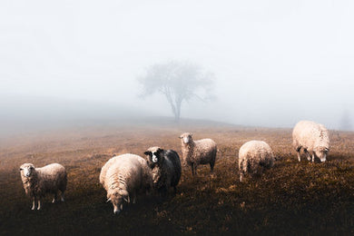 Poly Canvas Print - Photography - Wildlife Landscape with a Herd of Sheep in Autumn