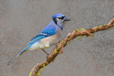 Poly Canvas Print - Photography - Wildlife Blue Jay Perched on a Branch