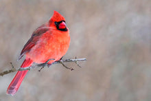 Load image into Gallery viewer, Poly Canvas Print - XXL - Photography - Wildlife Shot of a Northern Cardinal