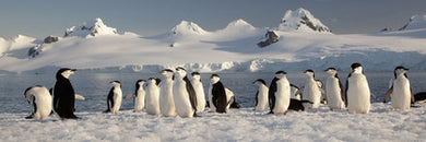 Poly Canvas Print - Photography, Water & Wildlife Landscape - Chinstrap Penguins