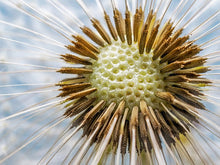 Load image into Gallery viewer, Poly Canvas Print - Photography - Floral Still Life of a Dandelion Flower Head