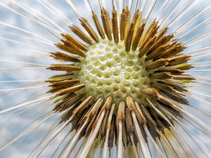 Poly Canvas Print - Photography - Floral Still Life of a Dandelion Flower Head