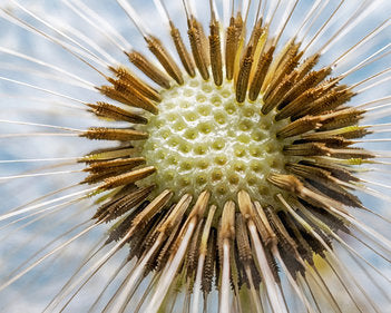 Poly Canvas Print - XXL - Photography - Floral Still Life of a Dandelion Flower Head