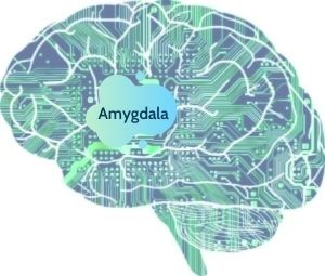 The brain amygdala region is supported by lithium