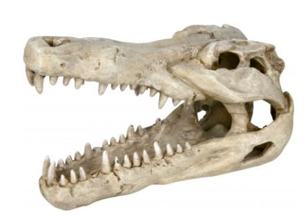 Crocodile skull Measurements: 14 cm
