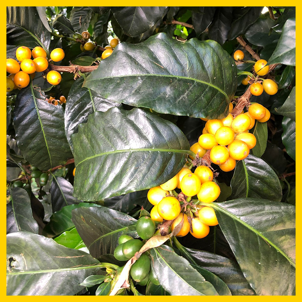 Colombia - Monte Bonito - Moon Roast Coffee
