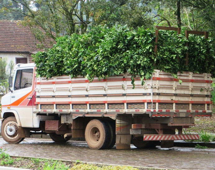 truck loaded with fresh yerba mate