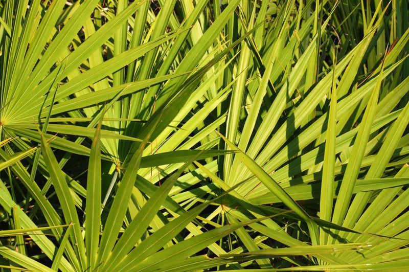 Saw Palmetto - A Herb with Immense Health Benefits