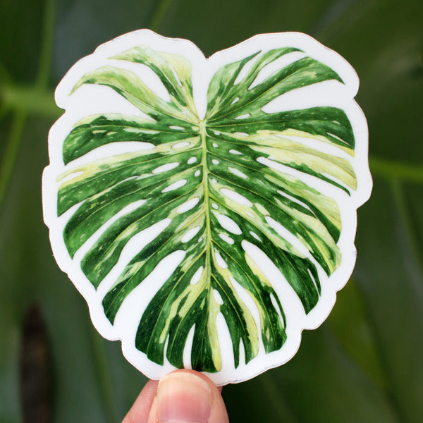 Monstera deliciosa 'Thai Constellation' Sticker