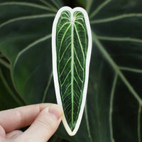 Anthurium warocqueanum Sticker
