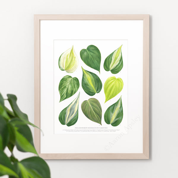 Philodendron hederaceum Varieties Print