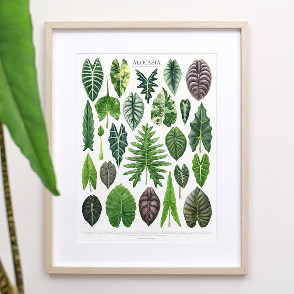 Alocasia Species Print
