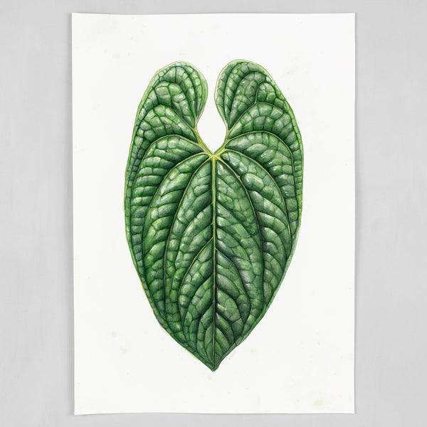 Anthurium luxurians - Original Watercolor