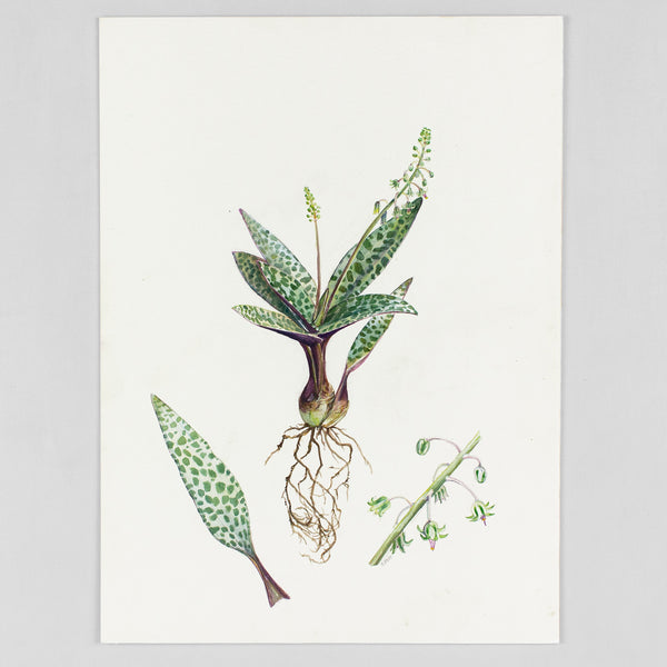 Ledebouria socialis - Original Watercolor