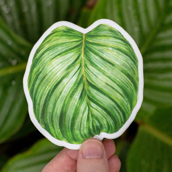 Calathea orbifolia Sticker