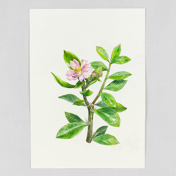 Pereskia grandiflora - Original Watercolor