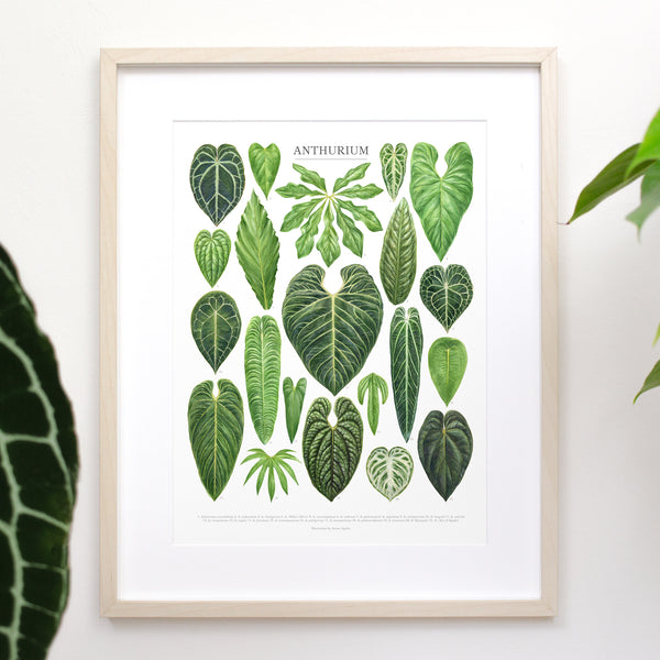 A collection of watercolor illustrations of popular anthurium houseplant leaves