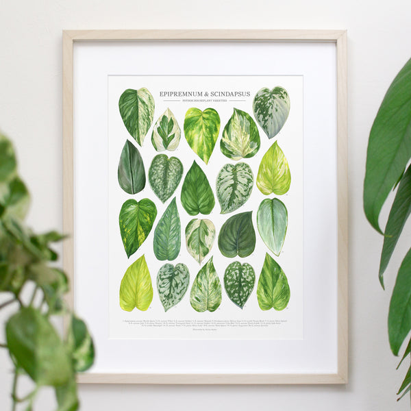 Pothos Species Print - Epipremnum and Scindapsus varieties
