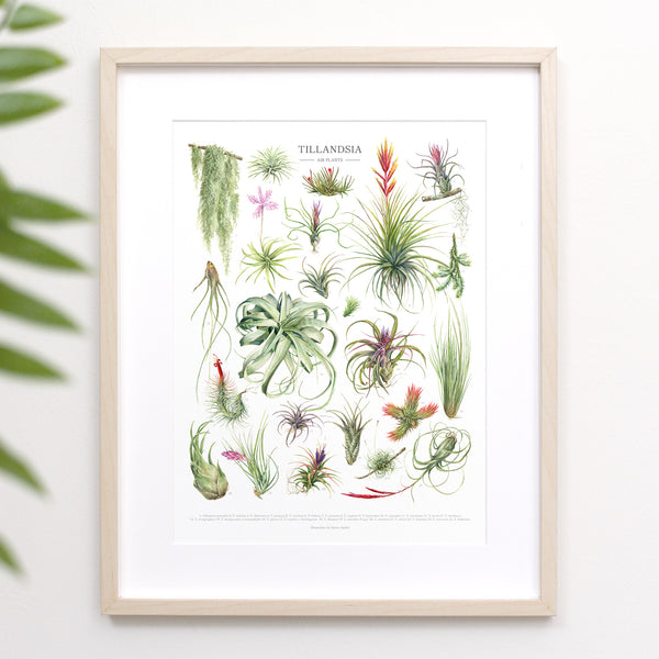 Tillandsia Species Print