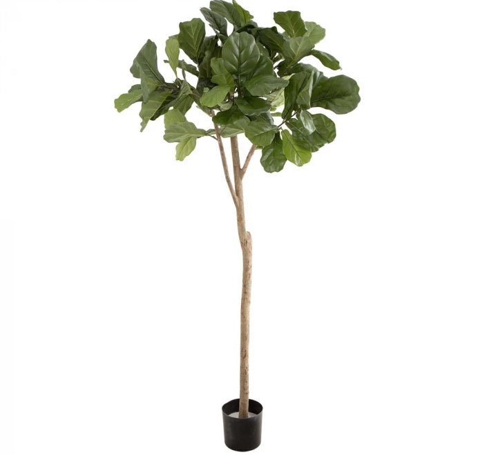 Fiddle Leaf Tree with 96 leaves