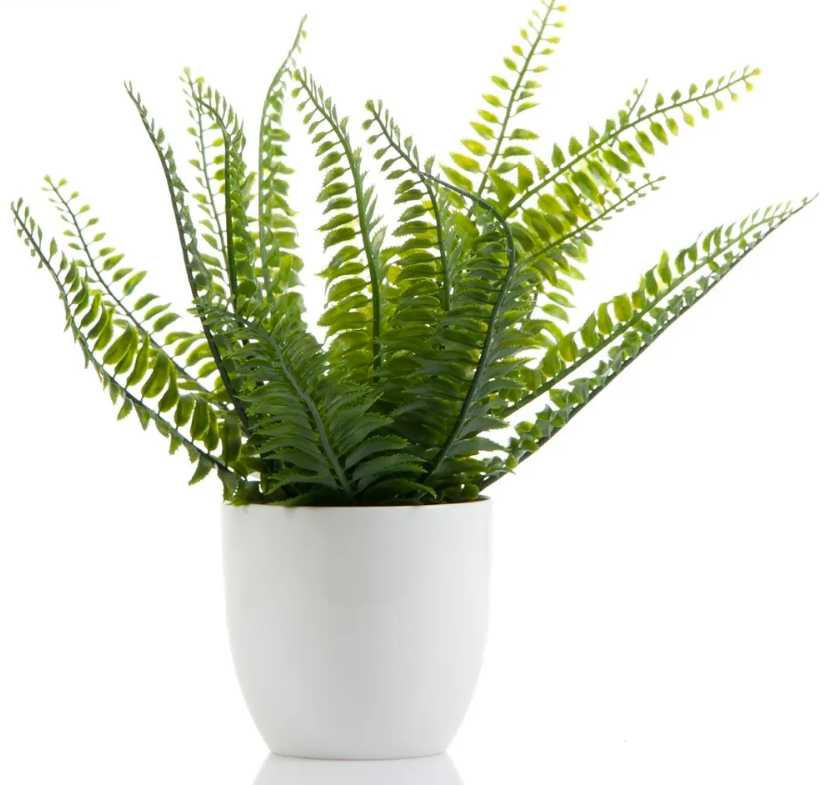 Boston Fern in White Ceramic Look Pot