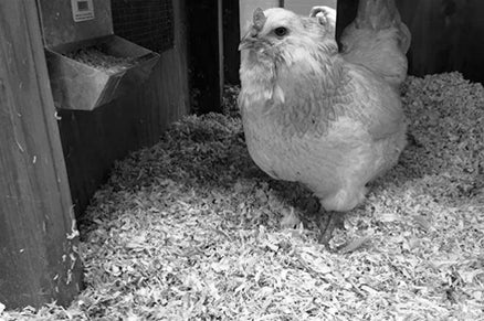 Chicken inside a chicken coop