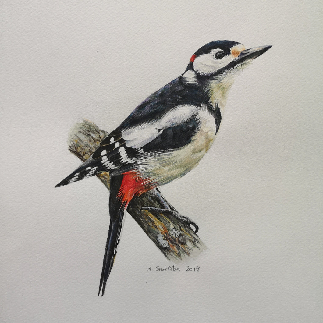 Marta Gotliba RÄHN / GREAT SPOTTED WOODPECKER
