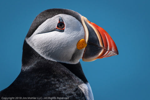 1012 - Puffin Portrait #1