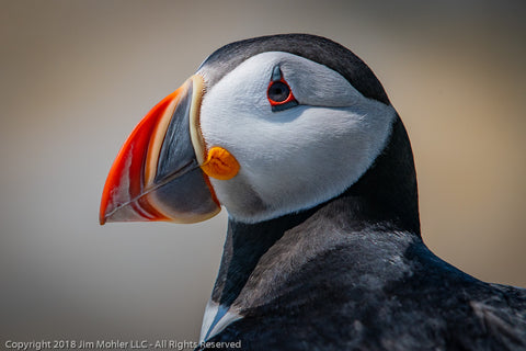 1013 - Puffin Portrait #2
